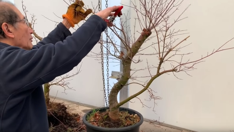 trimming japanese bonsai 7