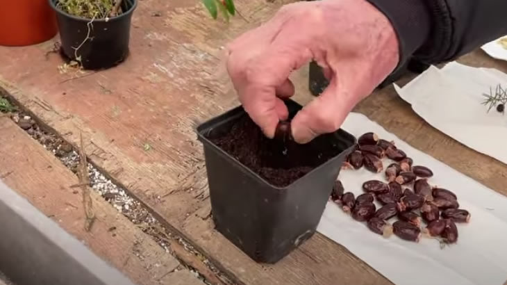 sowing lychee seeds