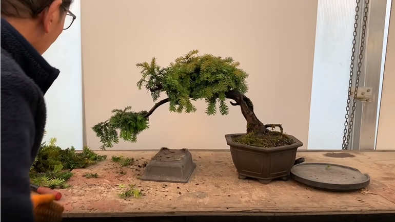 english yew bonsai tree