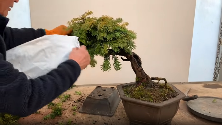 bag placed over bonsai branch