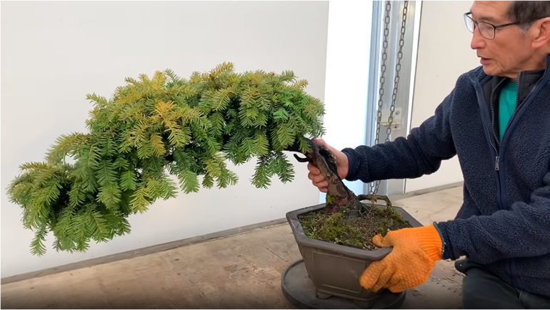 shaping yew bonsai