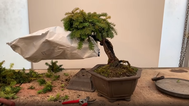 bonsai with bag over branch