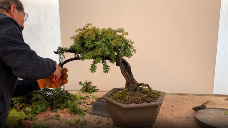 removing branches of yew bonsai