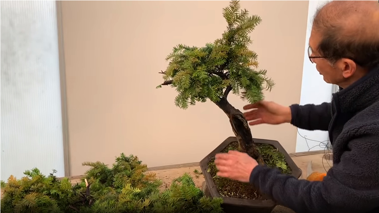 yew bonsai apex
