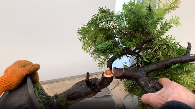 cutting yew bonsai branch