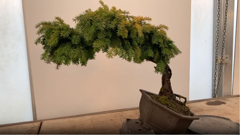 titled yew bonsai