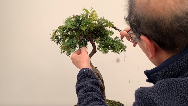 trimming bonsai