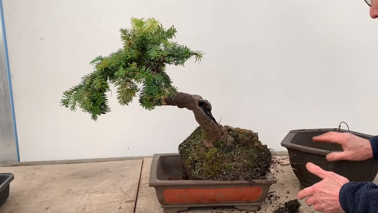 putting bonsai into pot