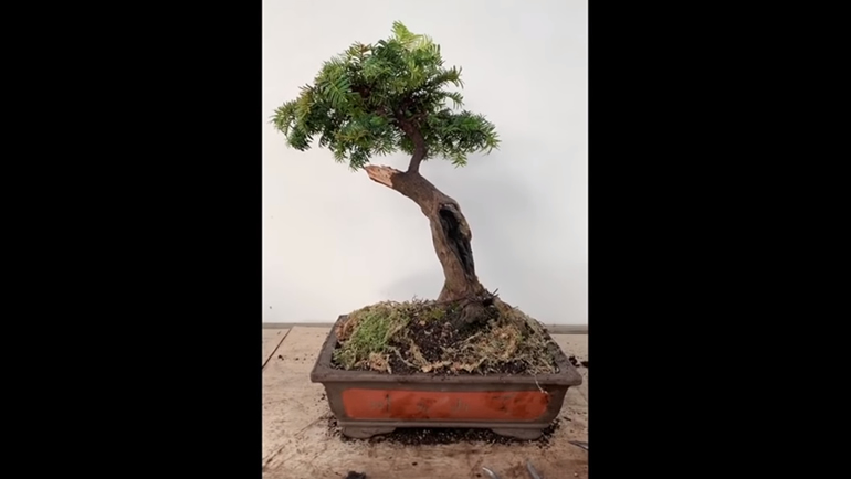 potted yew bonsai