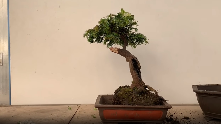 potting yew bonsai