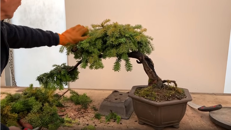 bonsai with semi cascade