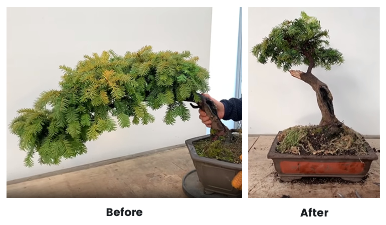 yew bonsai before and after