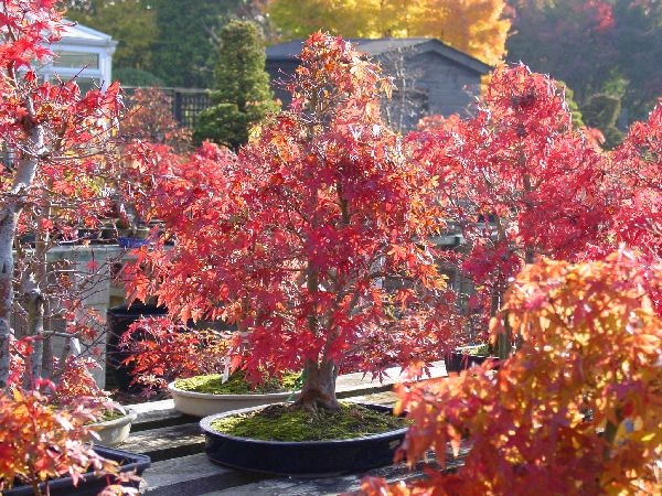 Japanese Maple Bonsai Trees Acer Palmatum Bonsai Herons Bonsai