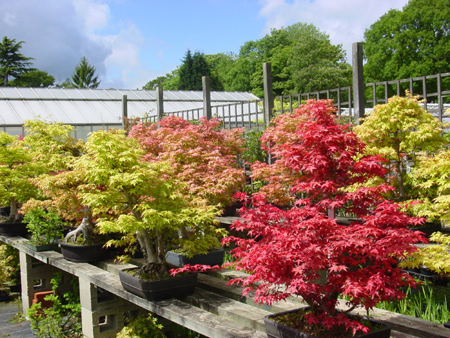 About Herons Bonsai Online Bonsai Trees Bonsai Nursery